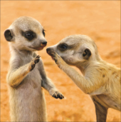 Meerkats Square Greeting Card Blank Inside